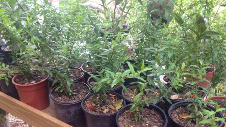 plant de grenade grenadier bio annonce bricolage jardinage saint barth lemy. Black Bedroom Furniture Sets. Home Design Ideas