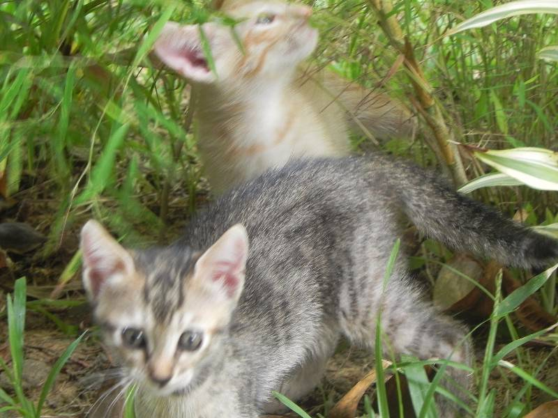 Chatons A Donner Chat Guyane Cyphoma