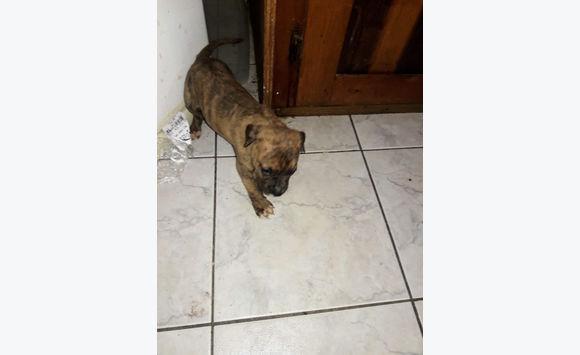 Xmas XL Pit Bull Pups 4 male 5 female 1st Litter
