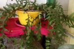 plantes ( cactus zigzag)