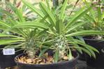 Palmiers de Madagascar ou pachypodiums
